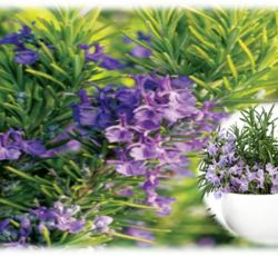 Essential Oil Division Rosemary Oil 1 rosemary_oil